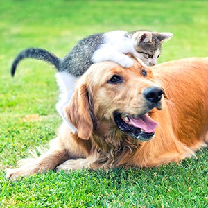 Domestic cat and golden retriever in grass.
