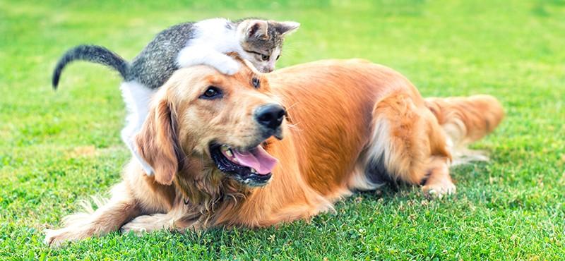 Domestic cat and golden retriever in grass.